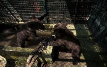 Δύο ορφανά αρκουδάκια από το Μαυροβούνιο υιοθέτησε ο Αρκτούρος