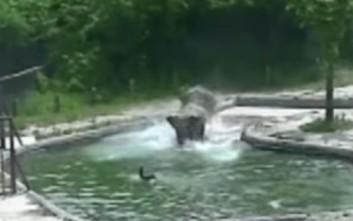 Ελέφαντες σώζουν το μικρό ελεφαντάκι από πνιγμό