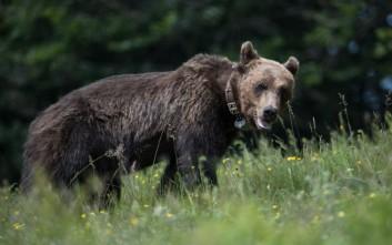 Αρκούδα έκοβε βόλτες σε χωριό της Κοζάνης