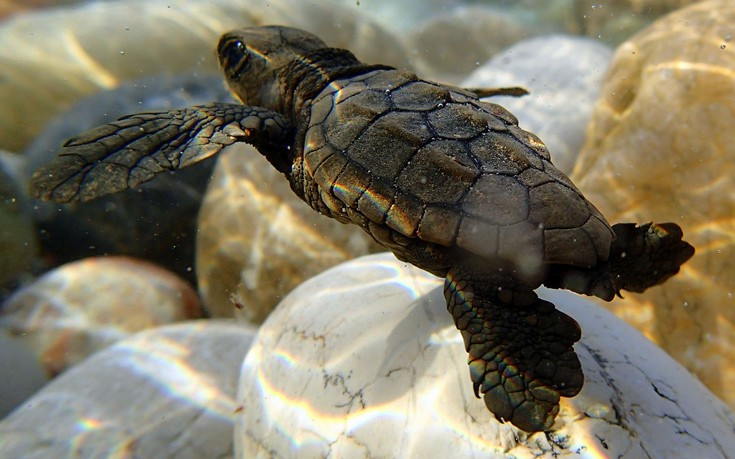 Τα πρώτα χελωνάκια καρέτα καρέτα στη Ζάκυνθο