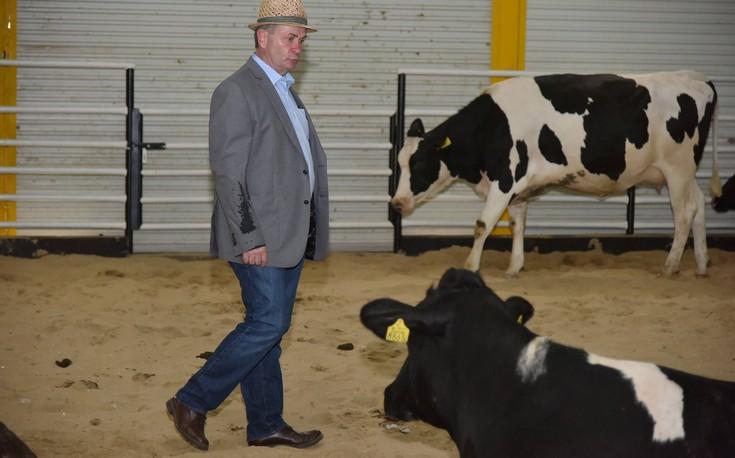 Οι αγελάδες προσγειώθηκαν στο Κατάρ σε κλιματιζόμενη φάρμα