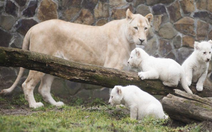 Πέντε λευκά λιοντάρια γεννήθηκαν σε ζωολογικό κήπο της Τσεχίας