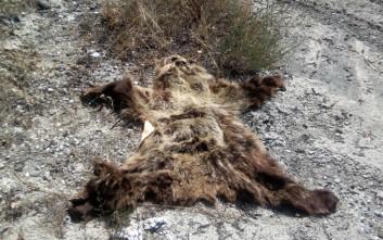 Κατεργασμένο δέρμα αρκούδας βρήκε ο Αρκτούρος