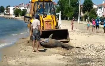 Νεκρό δελφίνι σε παραλία της Χαλκιδικής
