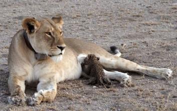 Μία λέαινα στοργική μητέρα σε μία μικρή λεοπάρδαλη