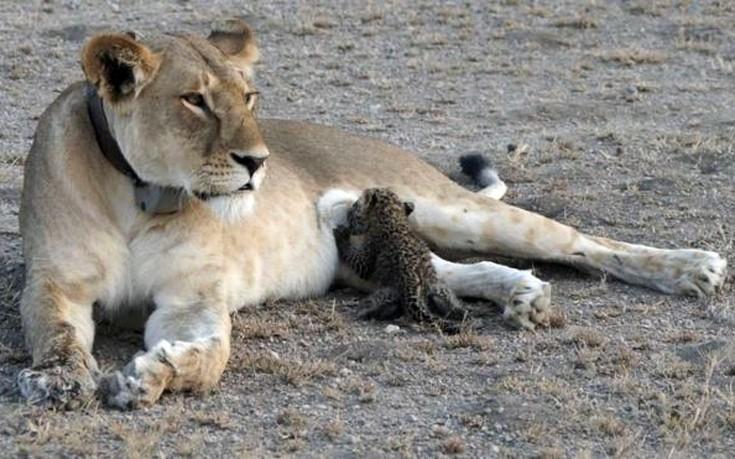 Μοναδικό φαινόμενο στην Τανζανία, λέαινα υιοθέτησε και θηλάζει μικρή λεοπάρδαλη