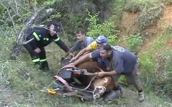 Ταύρος απεγκλωβίστηκε από χαράδρα στην Πτολεμαΐδα