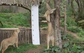 Πώς μετρούν το ύψος και το βάρος των ζώων ενός ζωολογικού κήπου