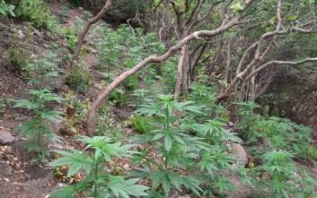 Φυτεία κάνναβης εντοπίστηκε στον δήμο Μαλεβιζίου