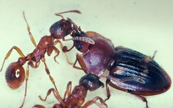 Ο «απατεώνας της φύσης» που ξεγελά τα μυρμήγκια και του δίνουν την τροφή τους