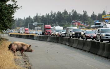 Τι απέγινε το γενναίο γουρούνι που δραπέτευσε και προσπάθησε να περάσει έναν αυτοκινητόδρομο