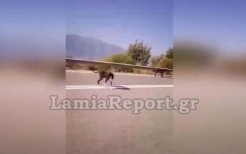 Αγέλη σκυλιών στη μέση του δρόμου στη Λαμίας - Καρδίτσας
