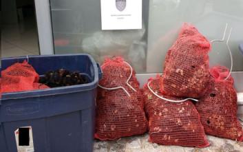 Πιάστηκαν ψαράδες με 1.700 αχινούς στη Χαλκίδα