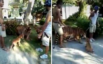 Ατρόμητος σκύλος τα βάζει με τίγρη και την αναγκάζει σε… υποχώρηση