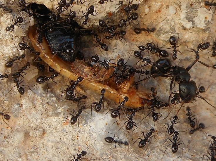 μυρμήγκια Μυρμήγκι