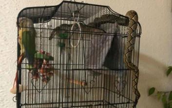 Πύθωνας επιχείρησε να φάει παπαγάλο μέσα σε κλουβί