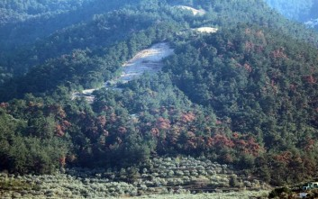 Σκαθάρι κατέστρεψε μεγάλο τμήμα των πεύκων στη βόρεια Θάσο