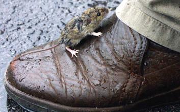 Τα ποντίκια εξελίσσονται για επιβιώσουν στις σύγχρονες μεγαλουπόλεις