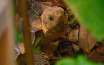 Η αρσενική χελώνα που ταξίδεψε… 10 χιλιόμετρα για τα μάτια του θηλυκού