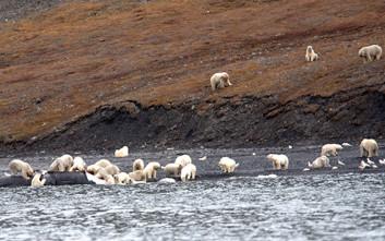 Δεκάδες πολικές αρκούδες καταβροχθίζουν… κουφάρι φάλαινας