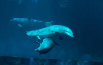Φθιώτιδα: Ο πανέμορφος «χορός» των δελφινιών