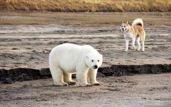 Το αξιολάτρευτο πολικό αρκουδάκι που βρέθηκε 700 χιλιόμετρα μακριά από το σπίτι του