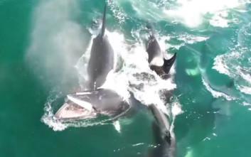 Σπάνιο βίντεο με όρκες να κυνηγούν και να καταβροχθίζουν μοναχική φάλαινα