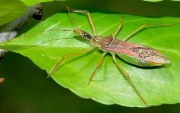 «Έντομο-δολοφόνος» απειλεί τις βιοκαλλιέργειες στην Κρήτη