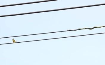 φιδι πουλι