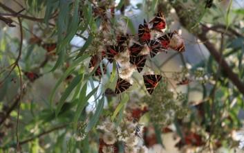 Νέο είδος εντόμου ανακαλύφθηκε στην Κοιλάδα των Πεταλούδων στη Ρόδο