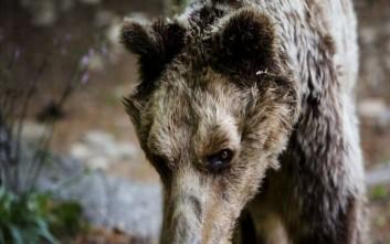 Πέθανε ο Μήτσος, ο αρκούδος με το παρατσούκλι «μεγάλος δραπέτης»