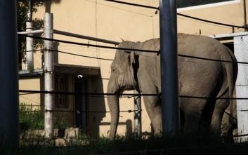 O Τραμπ ανέστειλε την εισαγωγή «τροπαίων» ελεφάντων που θηρεύονται στην Αφρική