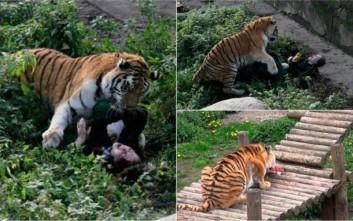 Τίγρης παραλίγο να κατασπαράξει γυναίκα σε ζωολογικό κήπο