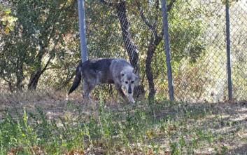 Ο Αρκτούρος υιοθέτησε δύο λύκους