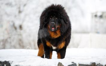 Αυτοί είναι οι πιο ακριβοί σκύλοι του κόσμου