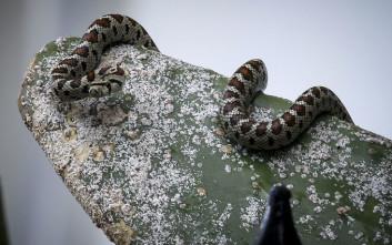 Φίδι εμφανίστηκε μετά τις καταστροφικές πλημμύρες στη Νέα Πέραμο