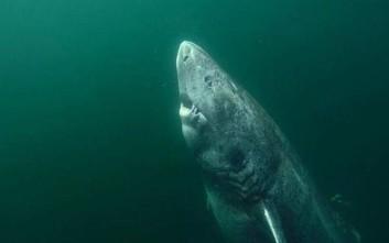 Καρχαρίας που γεννήθηκε πριν τον… Σαίξπηρ βρέθηκε ζωντανός στη Γροιλανδία