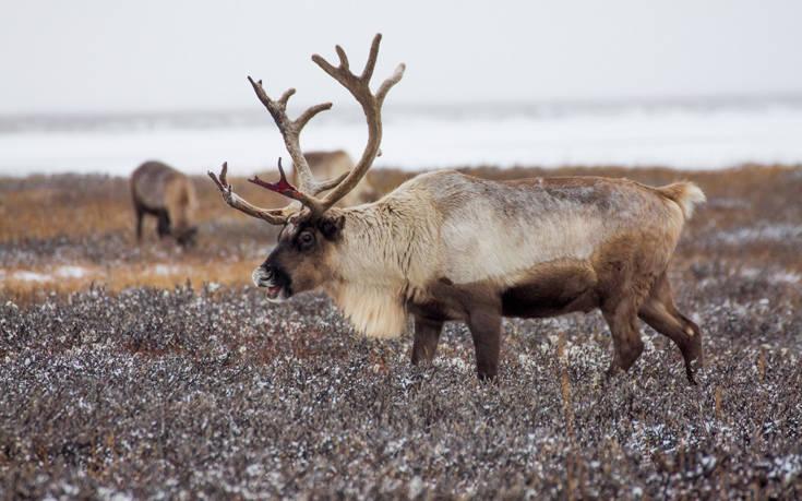 Χριστούγεννα τάρανδος κοκκινολαίμης ζώα γαλοπούλα