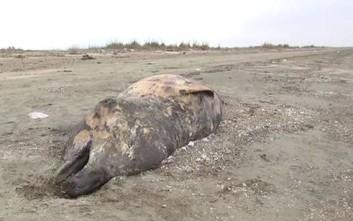 Σπάνια φάλαινα έξι μέτρων ξεβράστηκε στην Αλεξανδρούπολη
