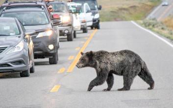 Πώς μπορεί να περάσει μια αρκούδα τον δρόμο;