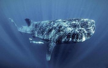 Να γιατί κοίταξαν οι επιστήμονες στα άστρα για να αναγνωρίσουν τους φαλαινοκαρχαρίες