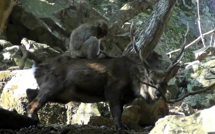 πίθηκοι ελάφια