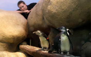 Θέλετε να δείτε δύο πιγκουίνους να εκκολάπτονται σε ζωντανή σύνδεση;
