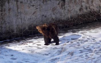Απελευθέρωσαν αρκούδα που είχε παγιδευτεί για μέρες σε άδεια δεξαμενή