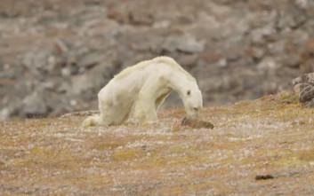 Αυτή η πεινασμένη και αποστεωμένη πολική αρκούδα θα σας ραγίσει την καρδιά