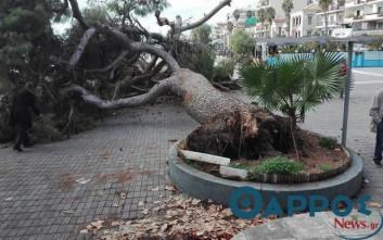 Έπεσε υπεραιωνόβιο δέντρο στο λιμάνι της Καλαμάτας