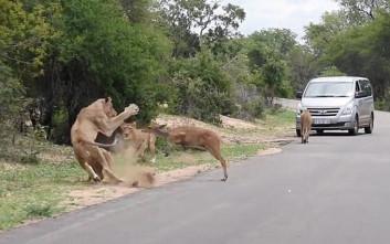 Ελαφάκι περνά τον δρόμο και πέφτει πάνω σε… αγέλη λιονταριών