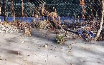 Έτσι επιβιώνουν οι αλιγάτορες μέσα στον πάγο