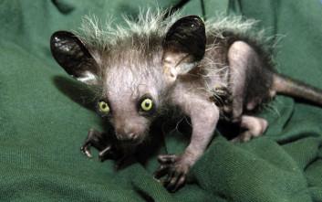 Aye-Aye lemur λεμουριος αι αι