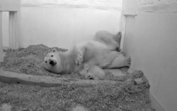 Πολικό αρκουδάκι πέθανε στο Βερολίνο 26 ημέρες μετά τη γέννησή του